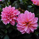 Pretty PInk Dahlias by MidnightMelody