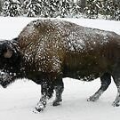 Bison in Winter by Patricia Montgomery