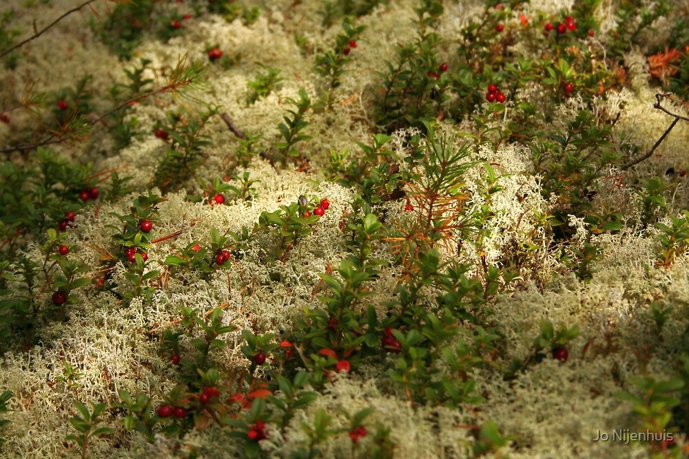 Reindeer Lichen with Red Berries by Jo Nijenhuis
