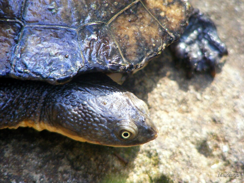 Quot Eastern Long Neck Turtle Chelodina Longicollis Quot By