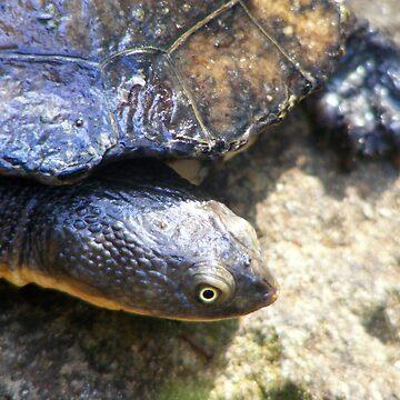 Eastern Long Neck Turtle (Chelodina longicollis)  by Maximus