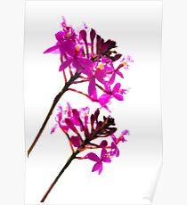 Orchid Duo Poster