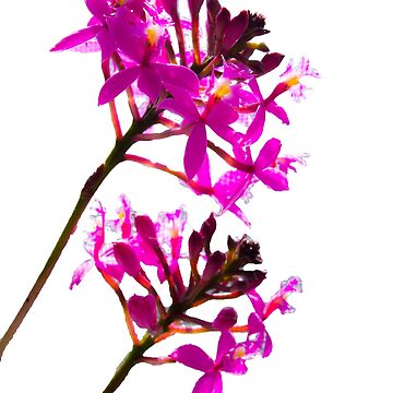 Orchid Duo by KazM