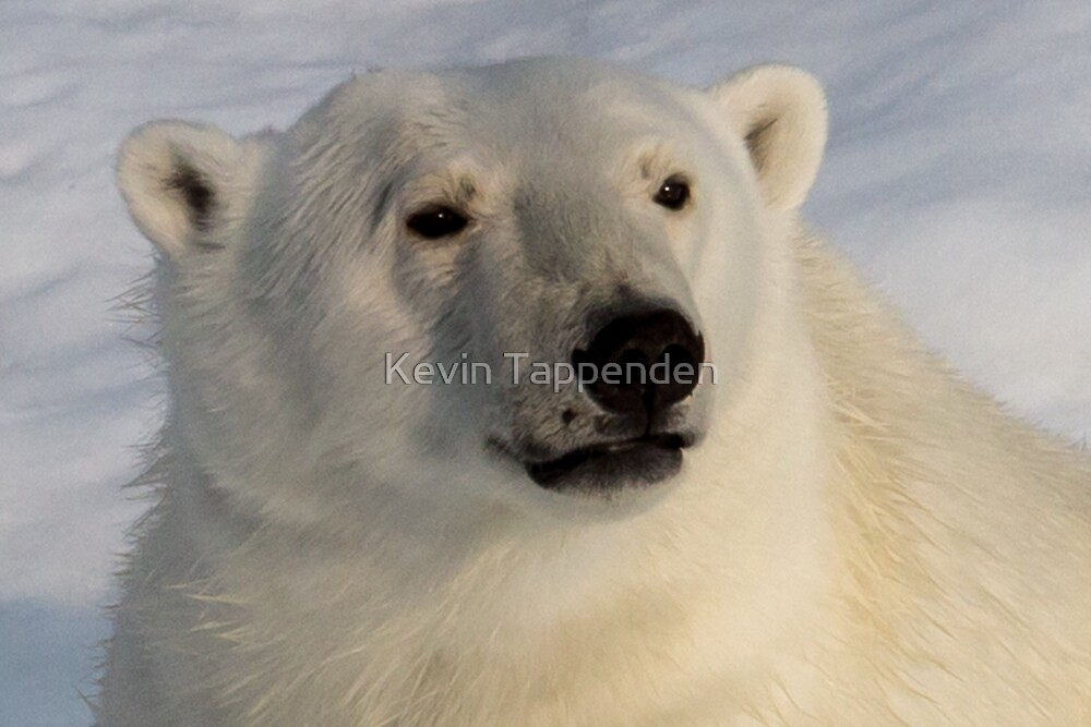 Polar Bear Close Up by Kevin Tappenden