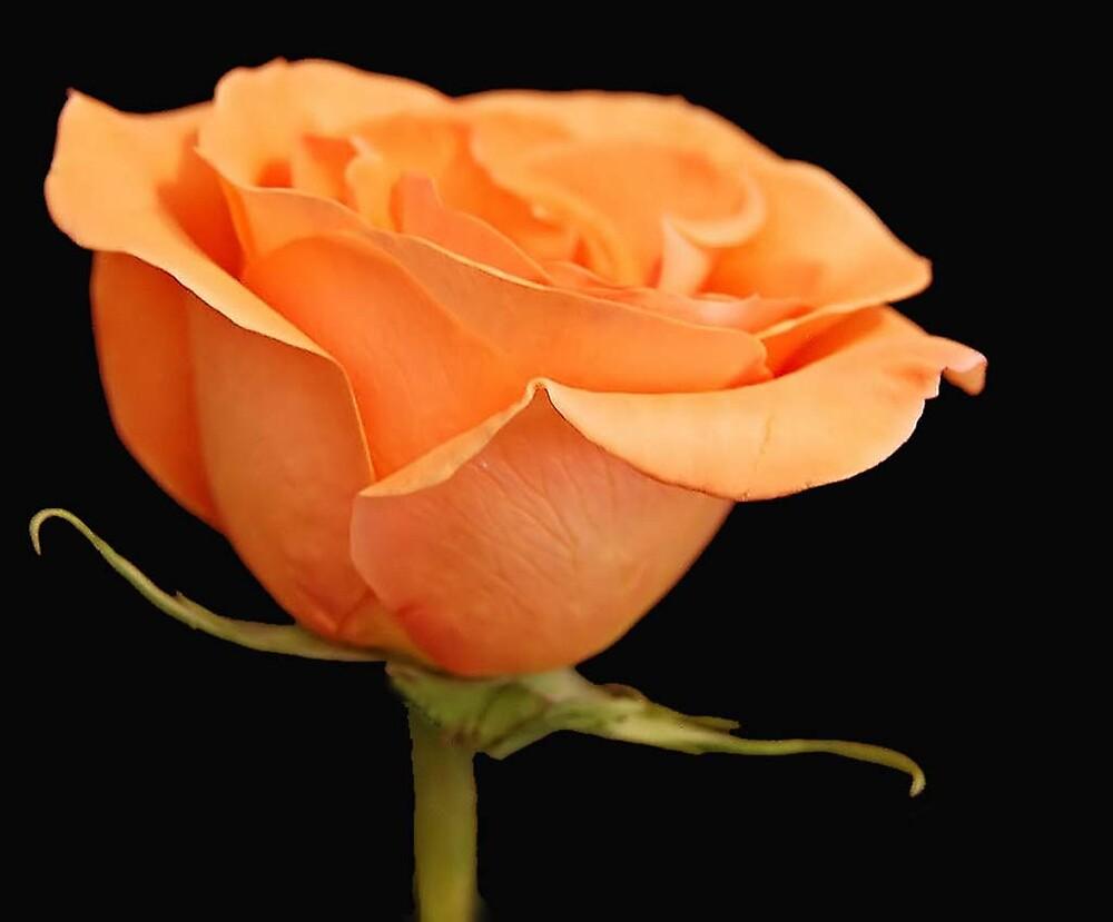 Rose by terrylazar