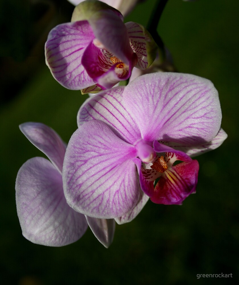 Orchid close up. by greenrockart