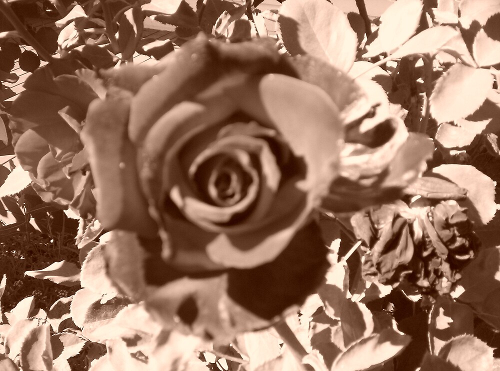 Blurred Sepia Rose by naomib