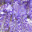 A wall of wonderful wisteria by Josie Gilbert