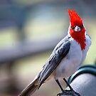 Crested Cardinal 1 by Anne Smyth