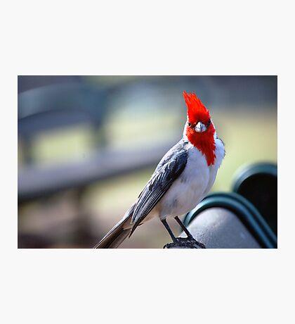 Crested Cardinal 1 Photographic Print