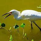Snowy Egret in Florida by bengraham