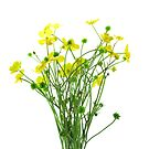 Ranunculus acris by JuliaPaa