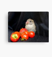 Yum... Rescued Sparrow - NZ Canvas Print