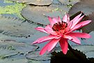 Nymphaea Rubra ( India Red water lily ) by Prasad