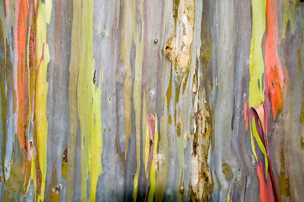 Bark on a Rainbow Bark tree by PDP1