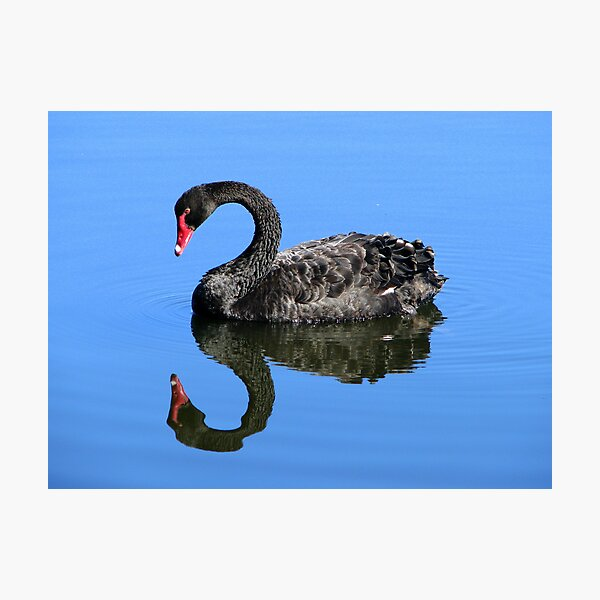 Me A Swan? aw C'mon  Photographic Print