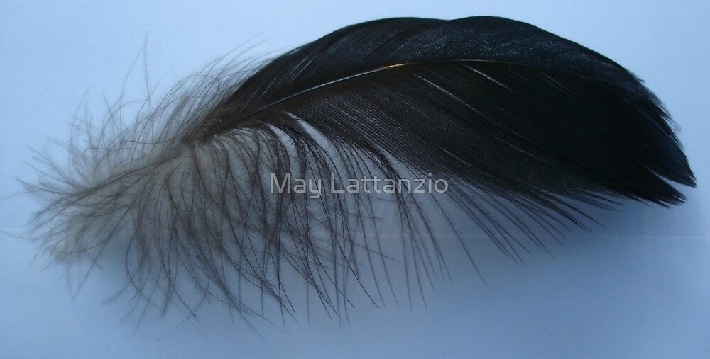 Muscovy feather by May Lattanzio