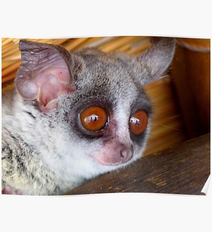 Hush Little Baby Don't Say A Word...Bushbaby - Galagos - South Africa Poster