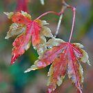 Japanese maple Autumn by Julie Sherlock
