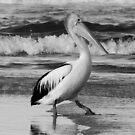 Pelican walk by UncaDeej