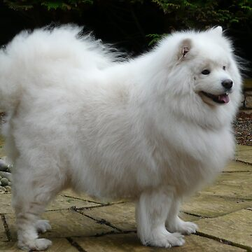 Samoyed by Mikoni