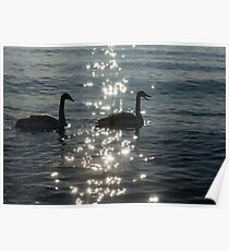 A Singing Pair of Trumpeter Swans  Poster