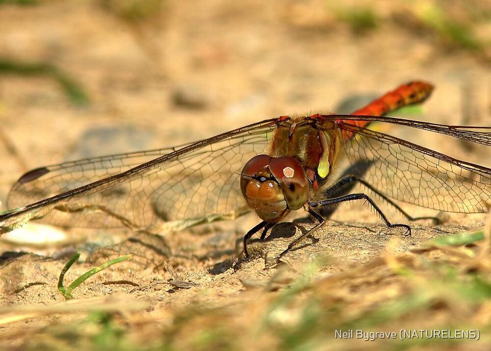 Male Common Darter Dragonfly by Neil Bygrave (NATURELENS)