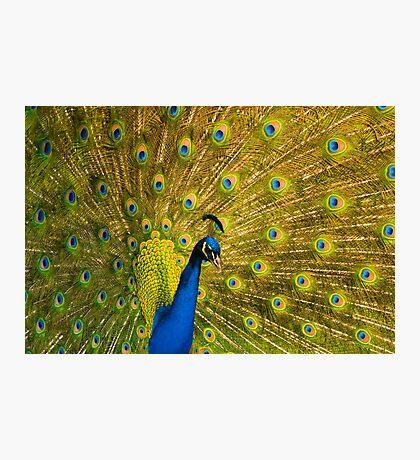Peacock II Photographic Print