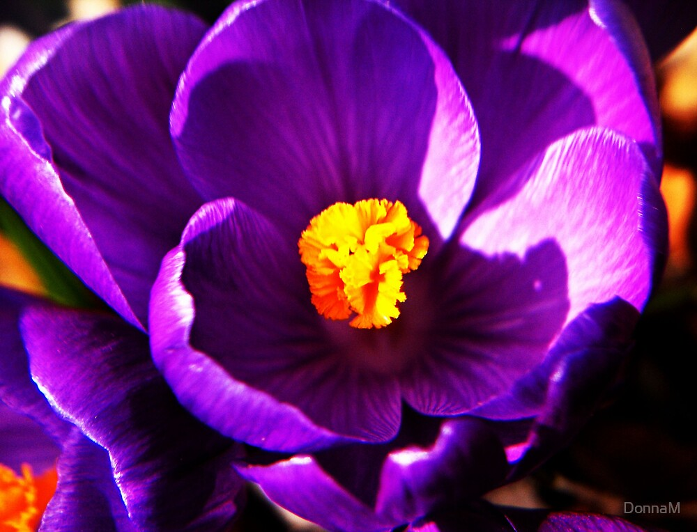 Crocus I by DonnaM