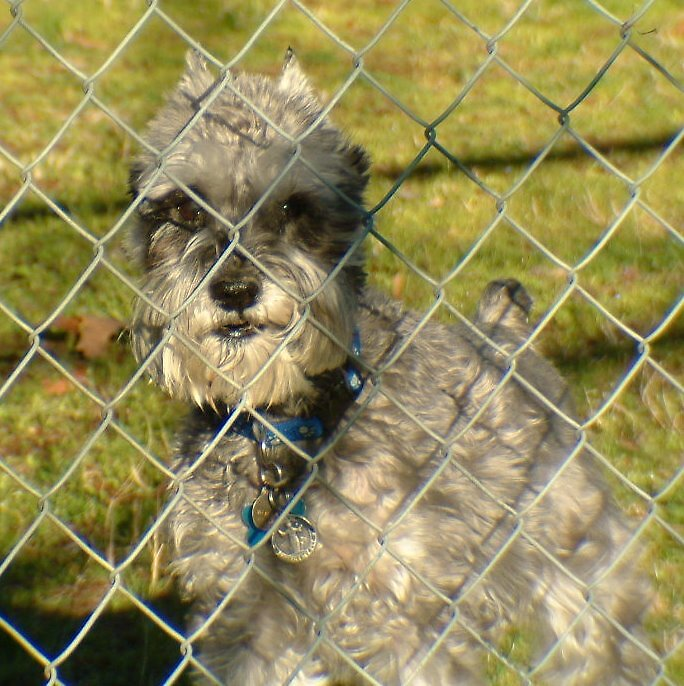 FULL OF SCHNAUZER PERSONALITY by sky2007