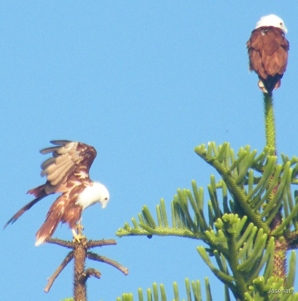Brahminy Kites by Jasenat