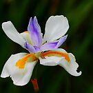 Iris Wild Fairy by Henrik Lehnerer