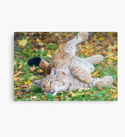 Playful Lynx Metal Print