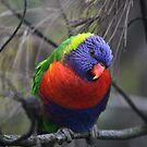 Technicolour Lorikeet by margotk