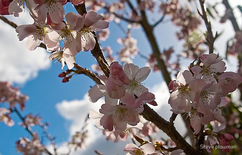 Cherry Blossom by Steve plowman