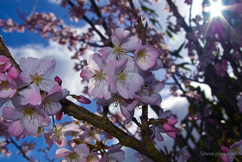 Pink flowers, blue sky and sunshine. by Steve plowman