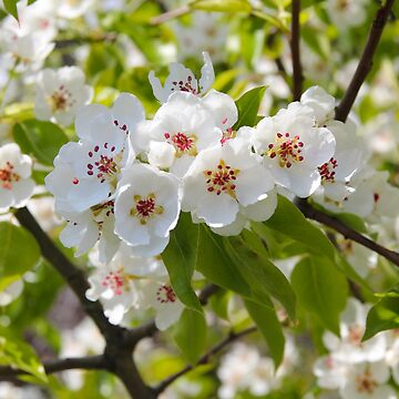 In bloom. Pear blossom by Chari-ot