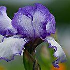 Iris Full of Grace by autumnwind