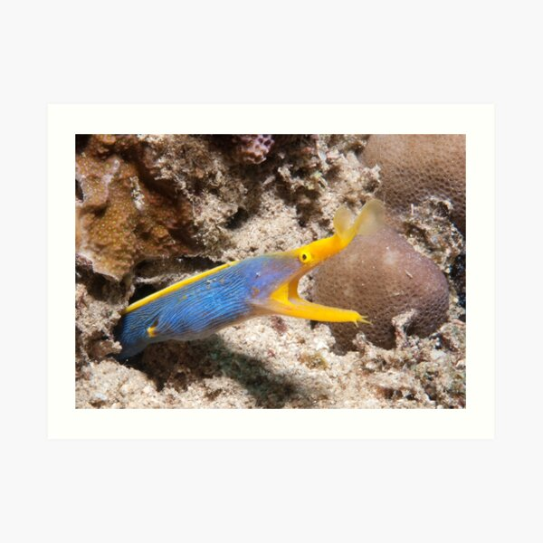 Blue Ribbon Eel, North Sulawesi, Indonesia Art Print
