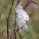 Wisps of White by hummingbirds