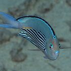 Pinstriped Angelfish by Mark Rosenstein