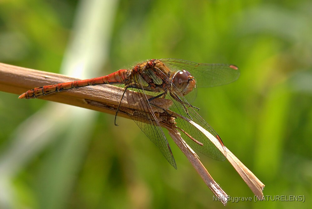 Common Darter Dragonfly by Neil Bygrave (NATURELENS)