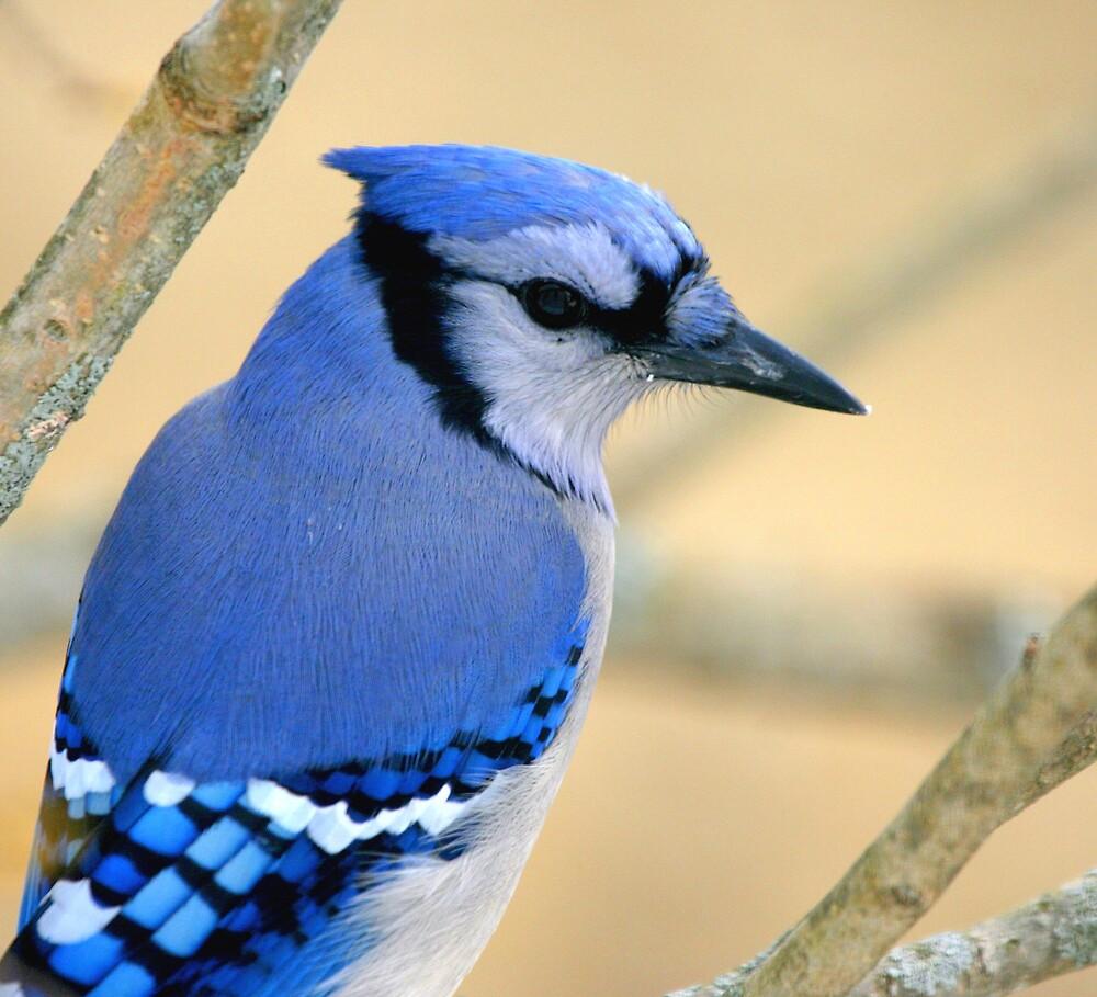 Blue Jay by zenmatt