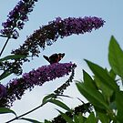 Butterfly on Buddlea by dougie1