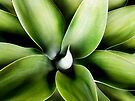 agave by Anthony Mancuso