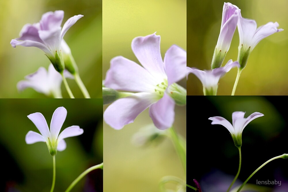 Oxalis collage by lensbaby