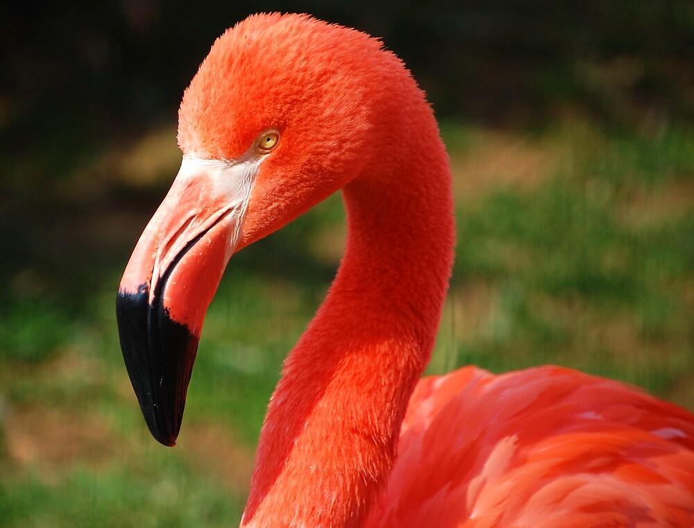 flamingo by dbcarolinagirl