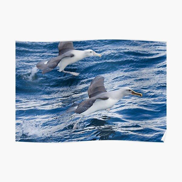 Racing Albatrosses - New Zealand Poster