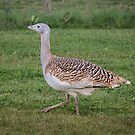 Great Bustard by frommyhorizon