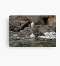 Fiordland Crested Penguin Canvas Print